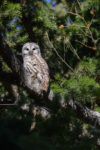 Barred Owl in Fir Tree