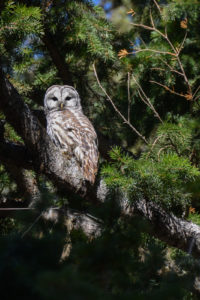 Barred Owl in Fir Tree
