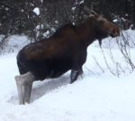 Moose on Trail