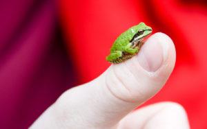 Pacific Chorus (Tree) Frog. Pseudacris regilla